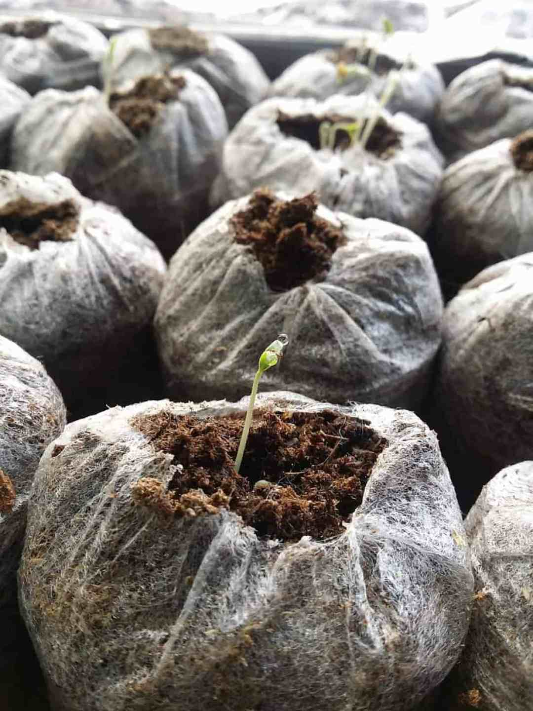 Germinating tomato seeds for the garden
