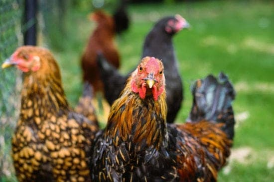 Homestead Blog Hop Feature - Great Gifts for the Chicken Keeper in Your Life