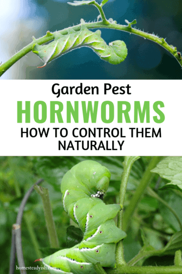 Homestead Blog Hop Feature - Garden Pest Tomato Hornworm