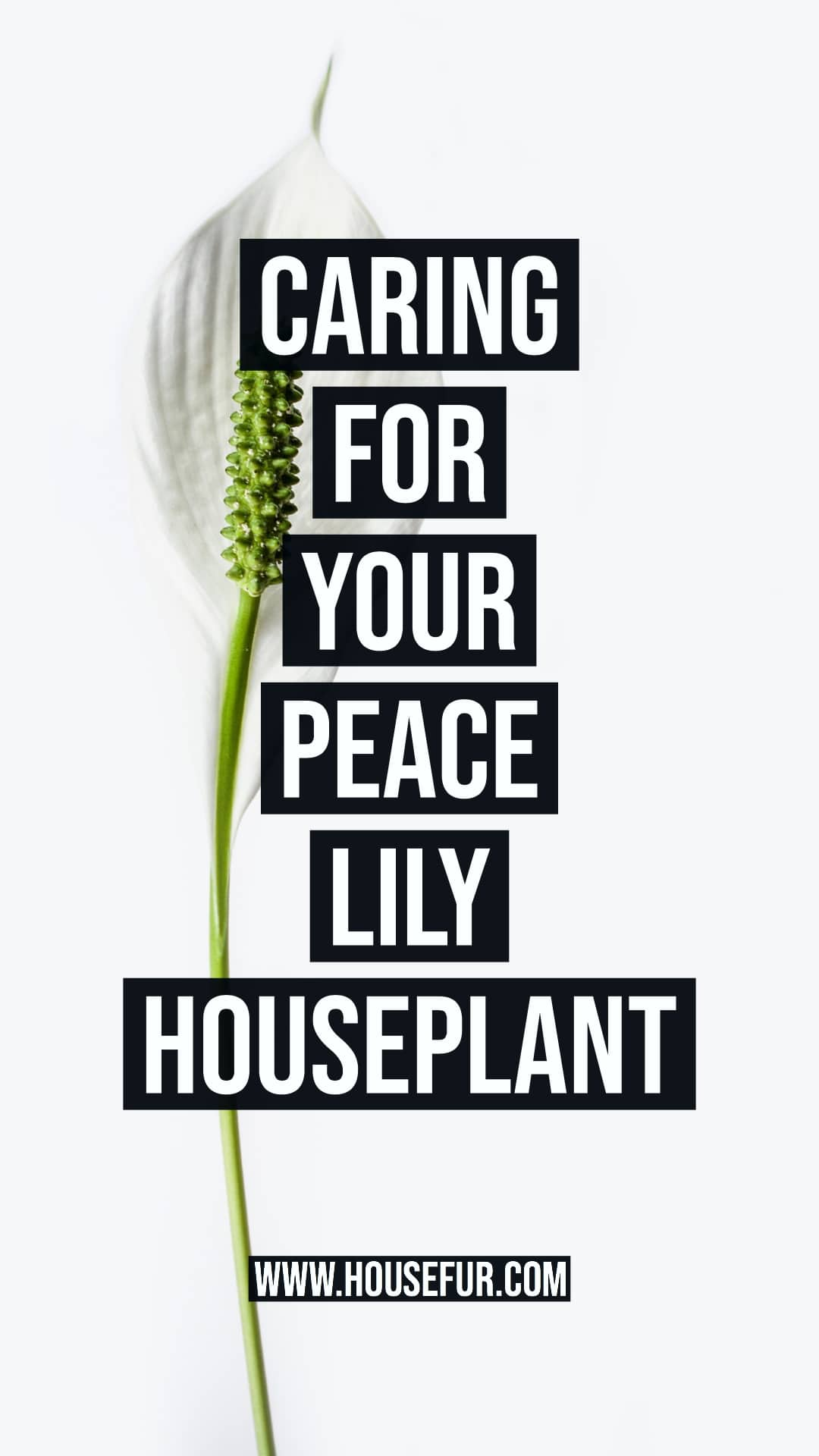 how to care for your peace lily houseplant