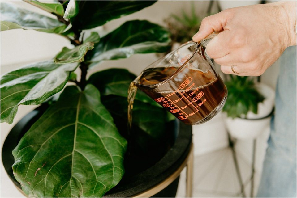 coffee is great fertilizer for houseplants