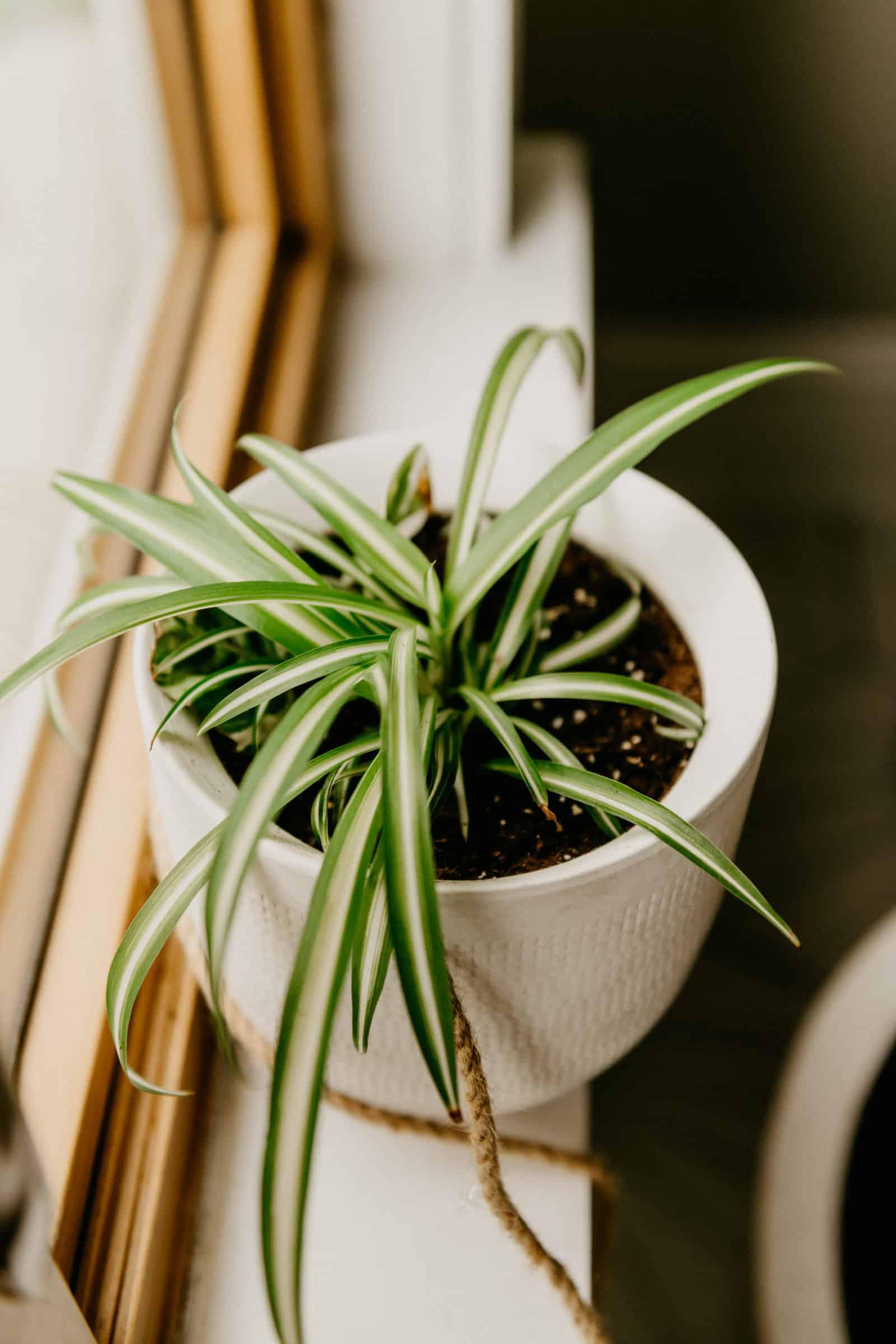 spider houseplants