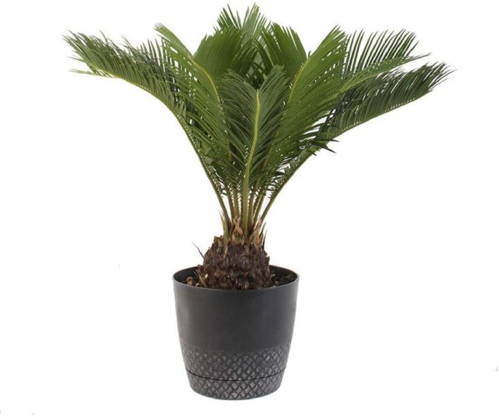 sago palm full sun houseplants