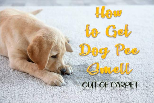 How To Get Dog Pee Smell Out Of Carpet New Set In Stains