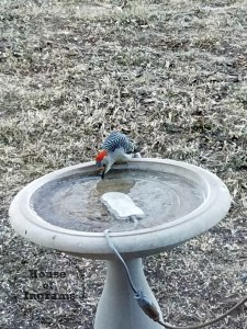 woodpecker deiced birdbath House of Ingrams