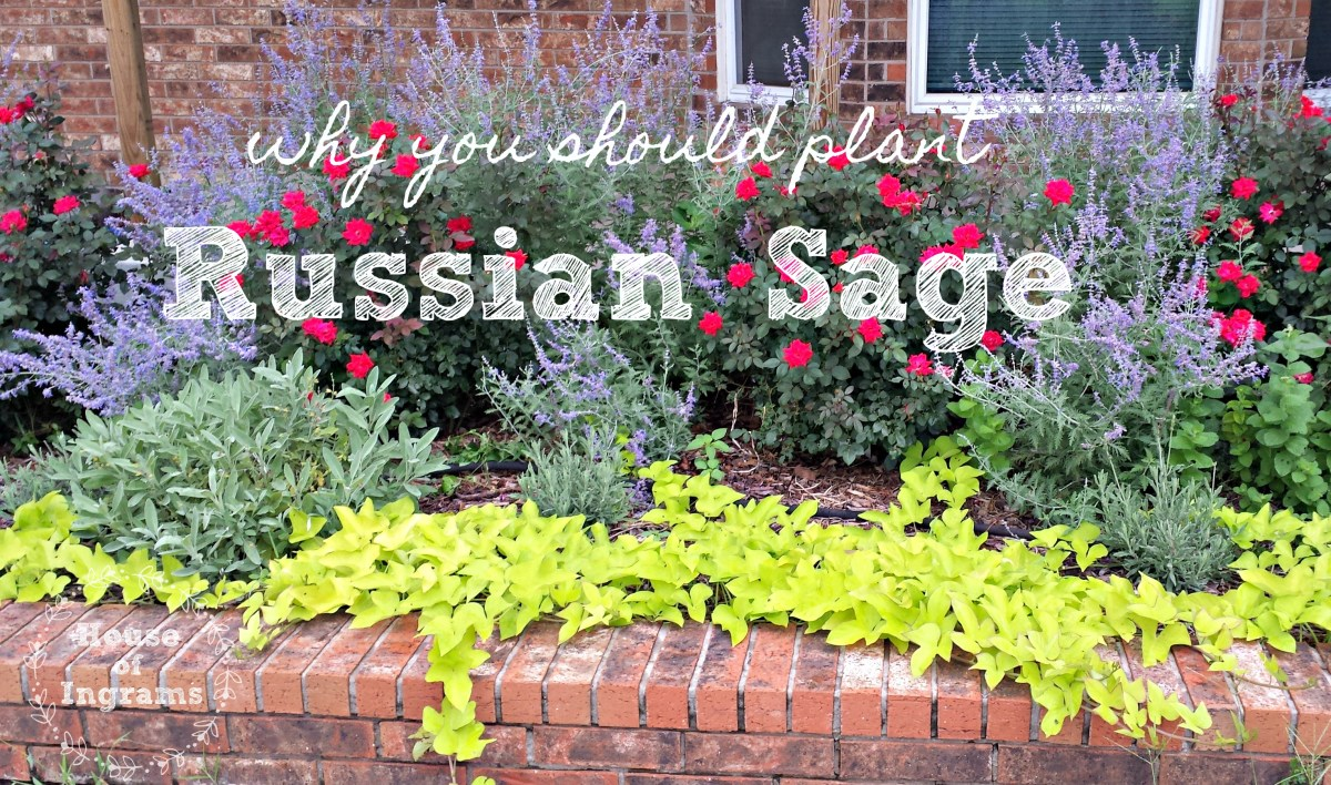 Why you should plant Russian Sage from HouseofIngrams.com