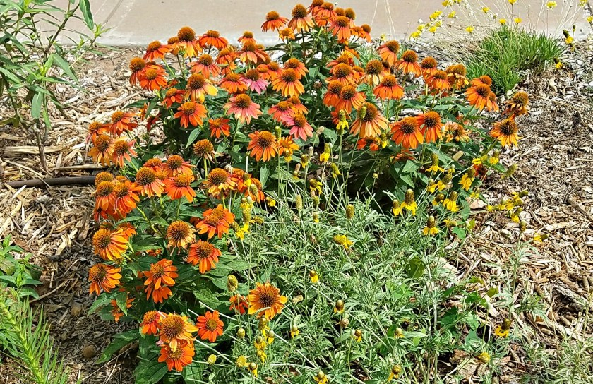Coneflower and Mexican Hat from HouseofIngrams.com