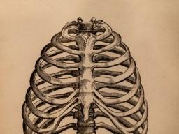Bones of rib cage
