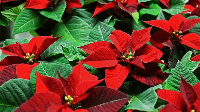 Are Poinsettias Poisonous House Paws Home Veterinary Care