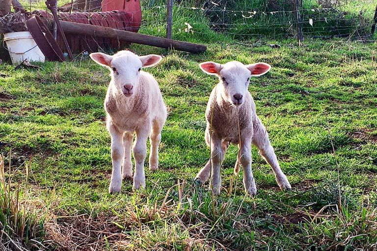 Baby lambs in Tasmania