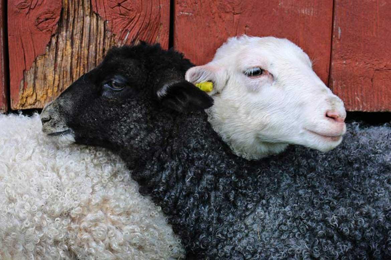 House Sitting Sheep