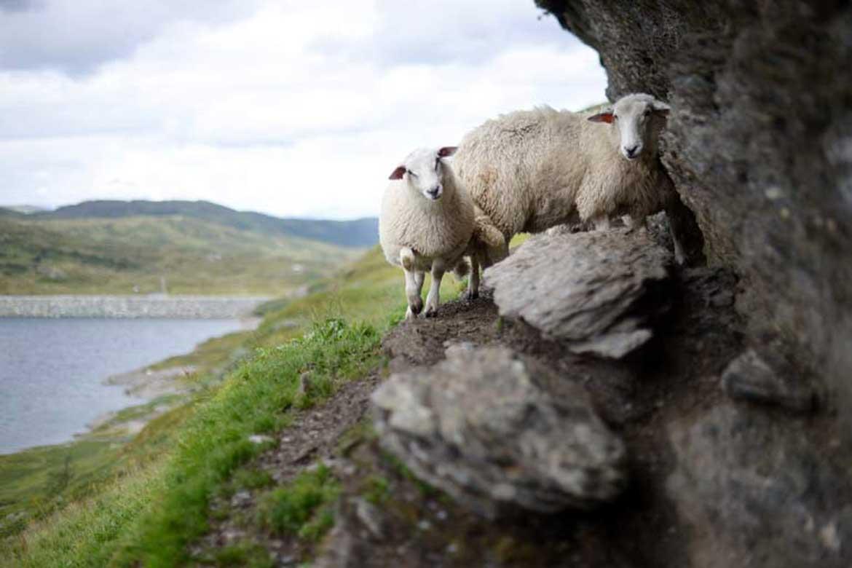 Farm sitting with sheep