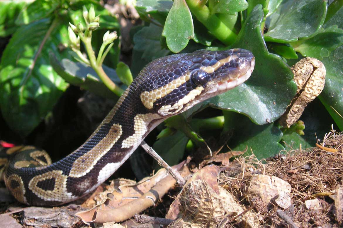 Snake Facts for House Sitters