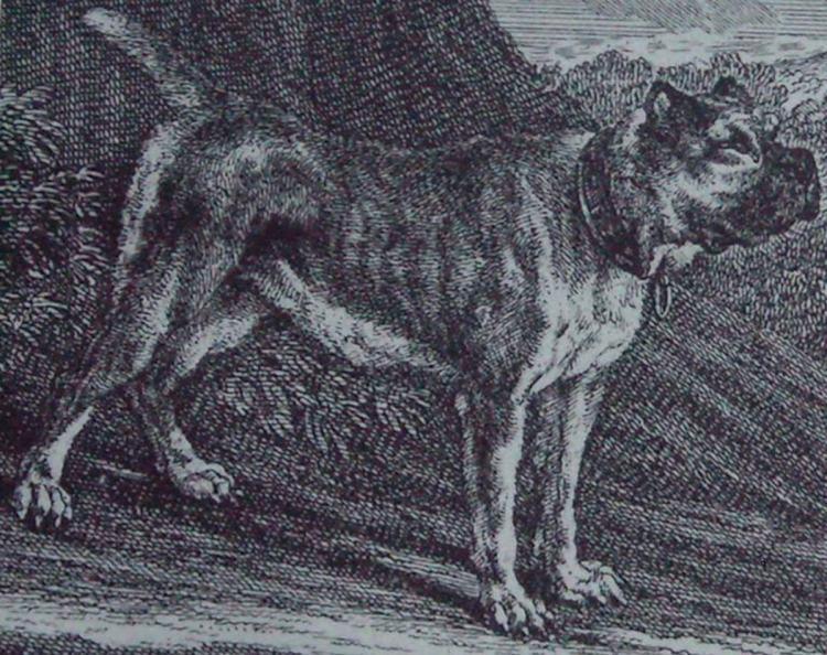 Bullenbeisser Original Boxer dog