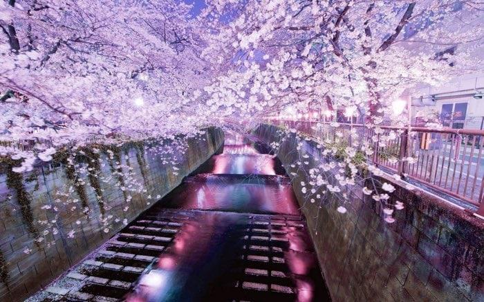 cerezos en flor en japon: viajes para mujeres solas