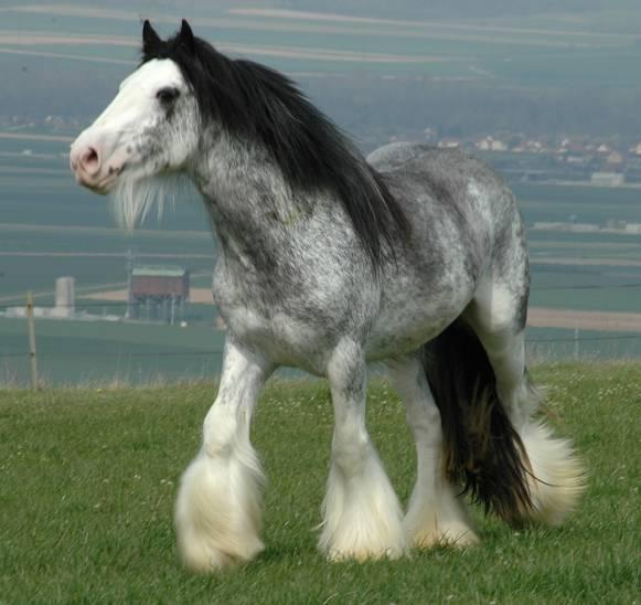 the breed is Irish Cob or Gypsy; the flowing manes and tails are gorgeous and th