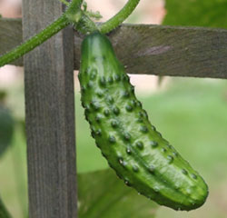 Cucumbers are sweeter when you plant them with sunflowers.  Don't plant them