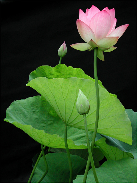 Lotus Lotus Lotus