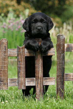 Black Lab Puppy on Fence!