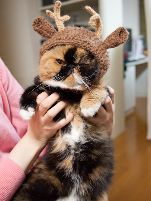 Fluffy, grumpy cat.