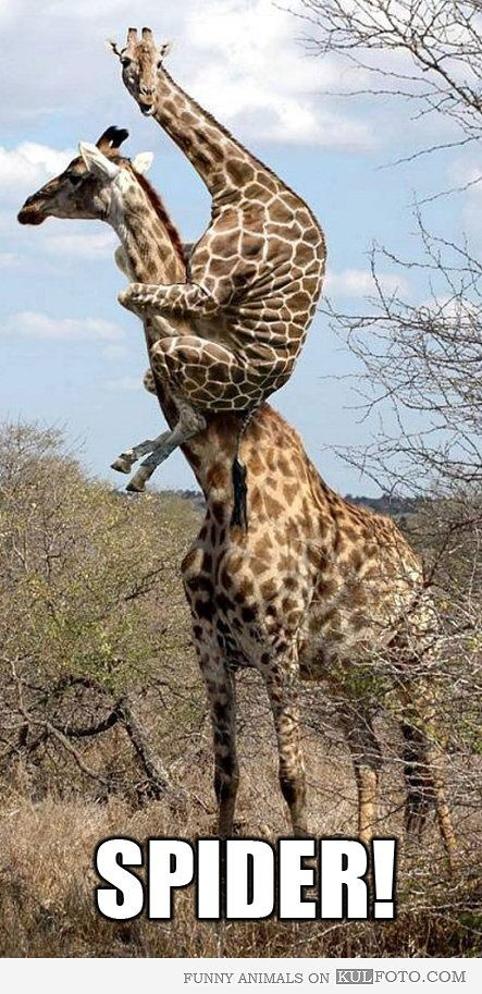 Mama giraffe saves baby giraffe from invisible spider.