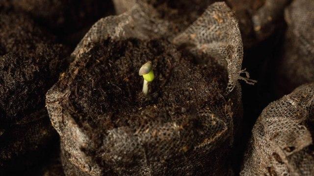 Weed seeds germinated in jiffy pellets.