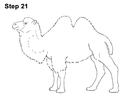 How to Draw a Camel (Bactrian)