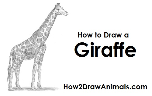 How to Draw a Giraffe VIDEO & Step-by-Step Pictures