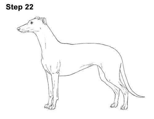 How to Draw a Dog (Greyhound)