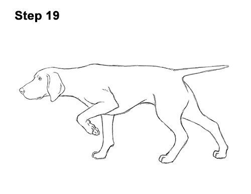 How to Draw a Pointer Dog VIDEO & Step-by-Step Pictures