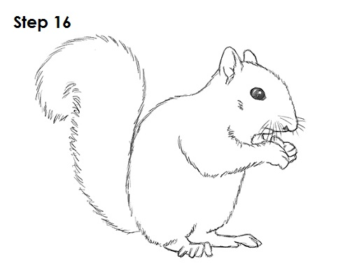 Squirrel Drawing Pictures