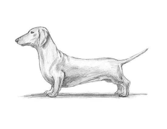 How to Draw a Dog (Dachshund)