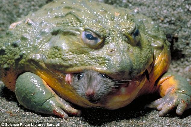 Goliath-Frog.jpg?w=662