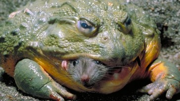 African Frog, World's Biggest Frog