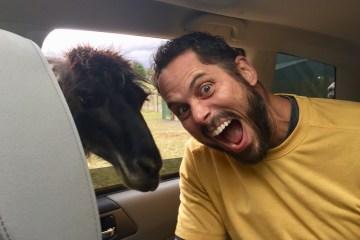 A llama sticks it's head in my car
