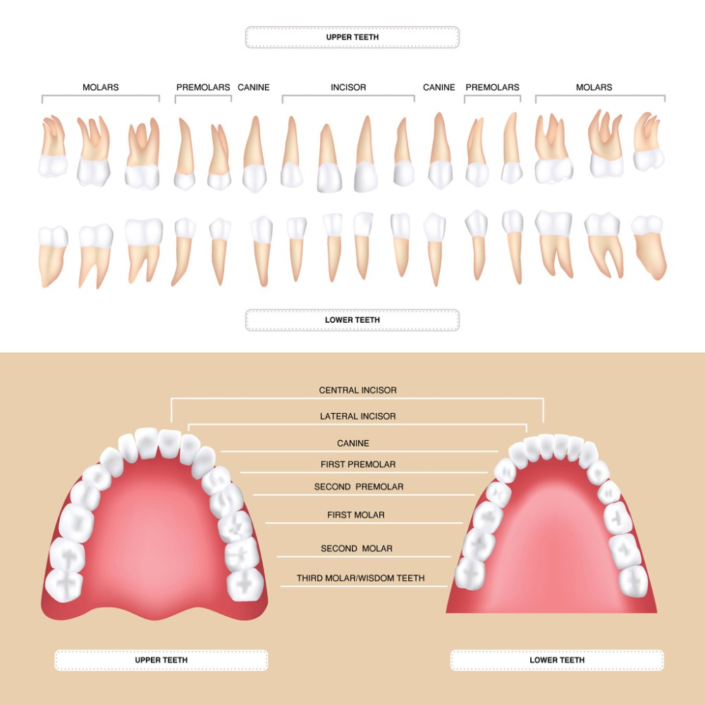 medium resolution of human dental anatomy permanent tooth