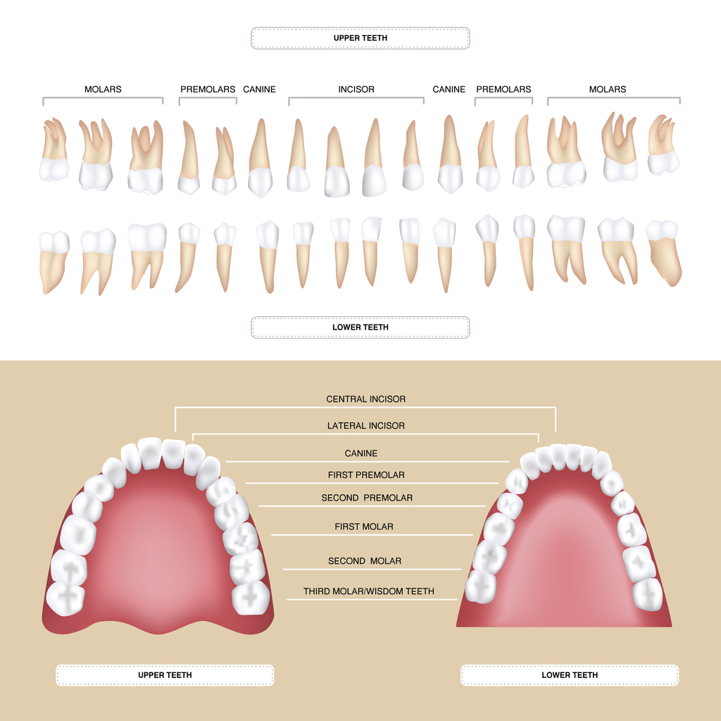 hight resolution of human dental anatomy permanent tooth