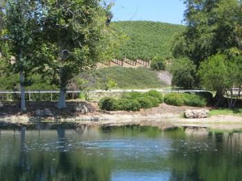 Across the lake a hillside Syrah vineyard