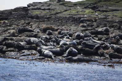 Seals sunbathing on the Farne Islands