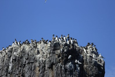 So many guillemots