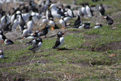 Group of puffins on the Farne Islands