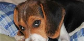 Beagle Health Problems