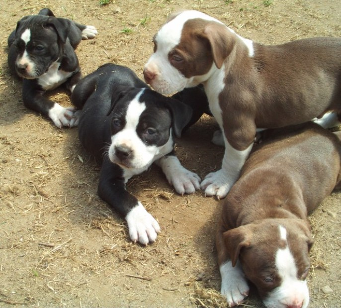 How Many Puppies Can A Pitbull Dog Have? - Best top care