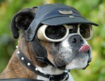 Doggie sunglasses aren't just for dress-up anymore. They often provide vital protection from sun and wind.