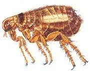 Dog fleas (Ctenocephalis canis)