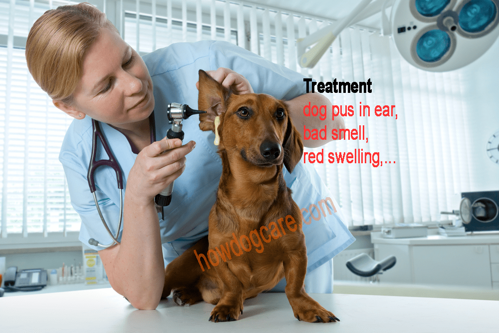 Taste Of The Wild Dog Food Reviews >> Treatment dog pus in ear, bad smell, red swelling - Best top care with dogs