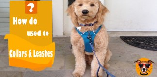 How do dogs get used to dog collars and leashes