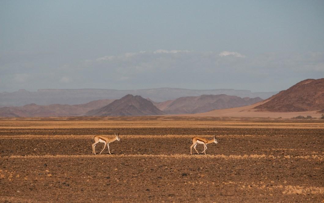 Buck in Namibia