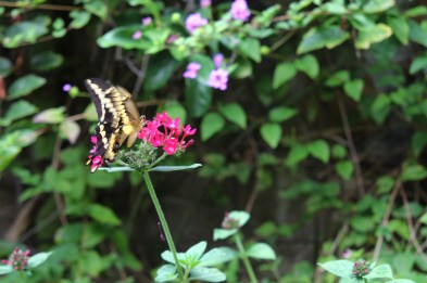 Jeden z wielu motyli w Zoro Garden