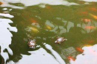 A wokół herbaciarni pluskają się żółwie i rybki